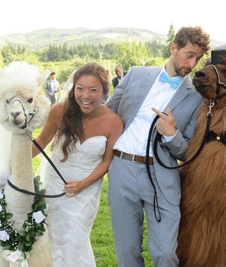 Lamas Fur Die Hochzeit Mieten Geht Jetzt Mit Den Wedding Lamas