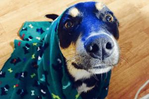 Dieser Hund simuliert seine Krankheit, nur damit seine Eltern ihn nicht verlassen.