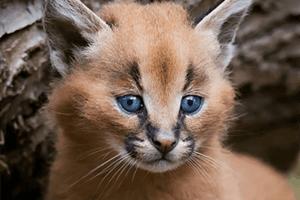 Ist das die süßeste Katzenrasse der Welt?