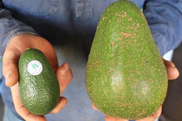 XXL-Avocado